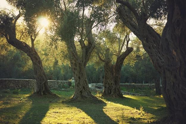 Il sole della sera illumina un vecchio uliveto con alberi.