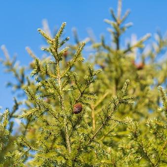 Rami sempreverdi con i coni dell'albero di natale nella foresta di pini sulla giornata di sole del cielo blu di sfondo. messa a fuoco morbida selettiva in primo piano. rami di abete naturale pronti per la decorazione per felice anno nuovo, natale.