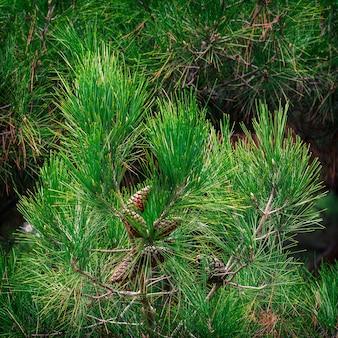 Tuia albero sempreverde