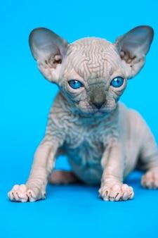 Eccellente gattino glabro di razza di gatto sphynx canadese seduto su sfondo blu e guardando