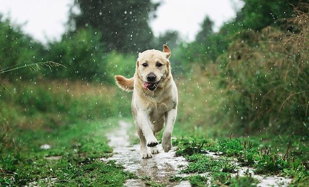 Labrador eccitato che corre lungo il sentiero erboso mentre si diverte nella natura in una giornata di pioggia