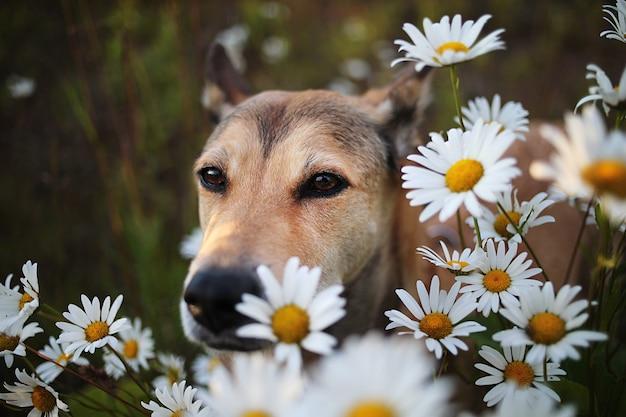Eccitato cane lupo seduto in mezzo a camomille e guardando la telecamera nel prato verde in natura