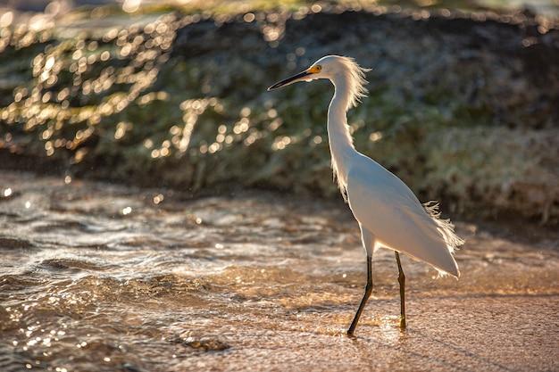 Esemplare di bubulcus ibis vicino al mare in una spiaggia della repubblica dominicana