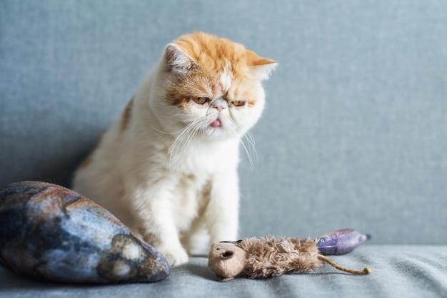 Gatto esotico a pelo corto con giocattoli animali