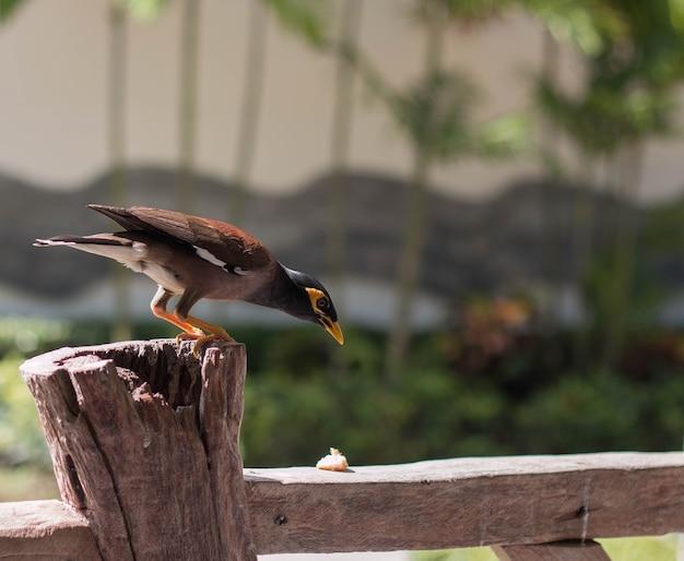 Esotico uccello tailandese solito myna locust starling mockingbird un uccello parlante seduto sul recinto