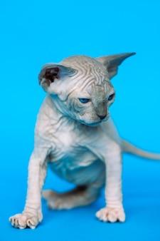 Espressione glabra gattino di razza canadian sphynx cat in piedi su sfondo blu