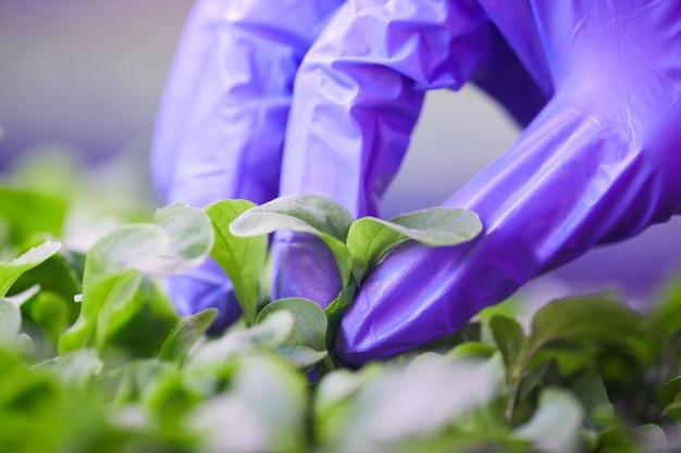 Extreme close up della mano guantata raccolta di foglie verdi fresche in serra vivaio, copia dello spazio
