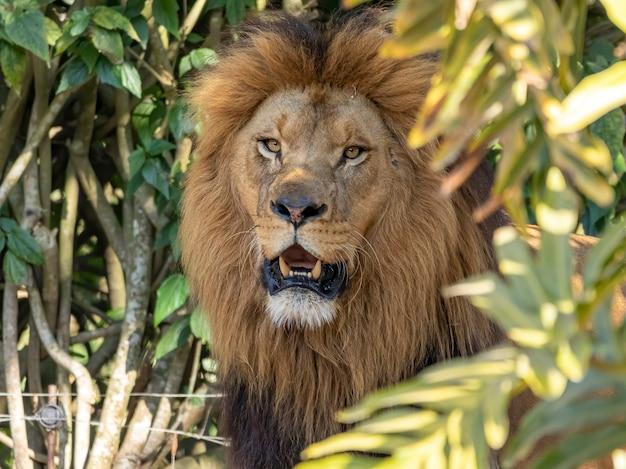 Primo piano estremo nel leone nella foresta
