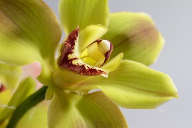 Foto a macroistruzione estrema del fiore giallo dell'orchidea usata come priorità bassa