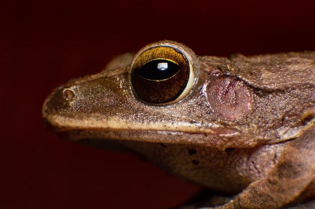 Occhio estremo del colpo a macroistruzione di rhocoprus leucomystax in selvaggio. primo piano dettagliato dell'occhio Foto Premium