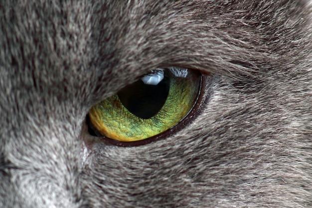 Occhi di gatto grigio fotografia macro
