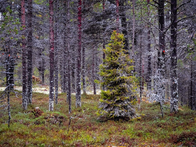 Favoloso abete della foresta settentrionale ricoperto di muschio