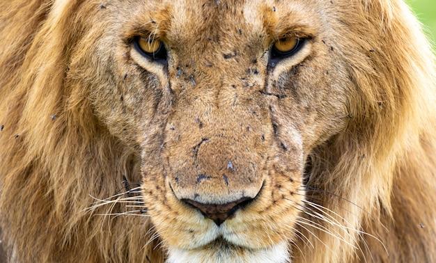La faccia di un grande leone