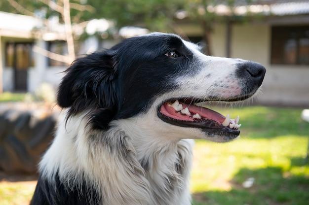 Faccia di un cane di border collie che guarda al lato