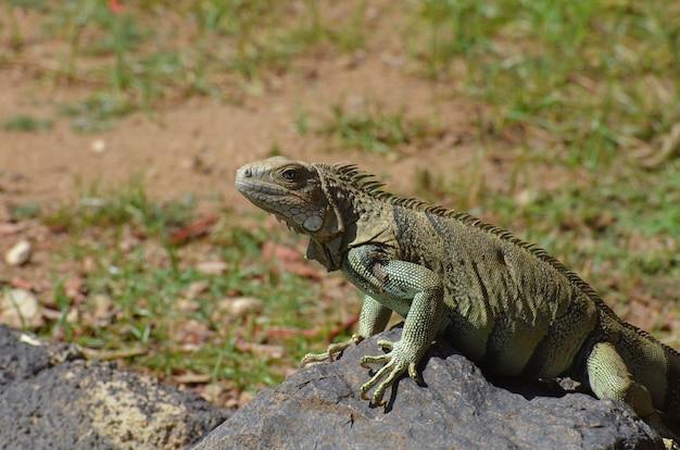 Volto di un'iguana comune che si arrampica su una roccia.