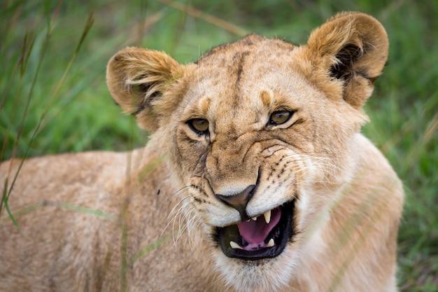 Il volto di una giovane leonessa in primo piano