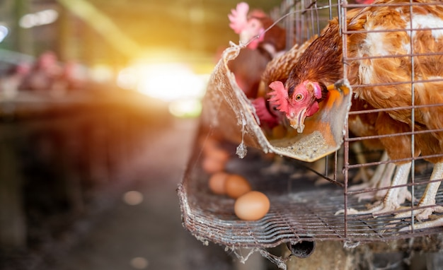 Fabbrica agricola produzione di uova di gallina