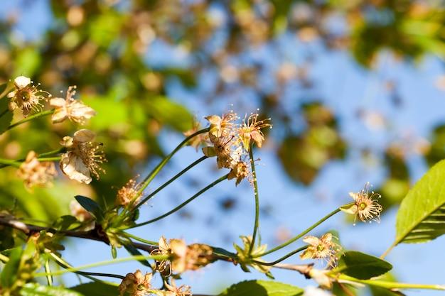 Fiori di ciliegio appassiti in tarda primavera, tempo soleggiato,