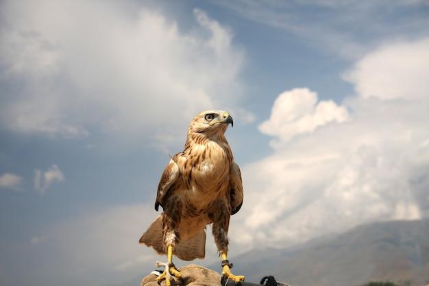 Un falco addomesticato per la caccia