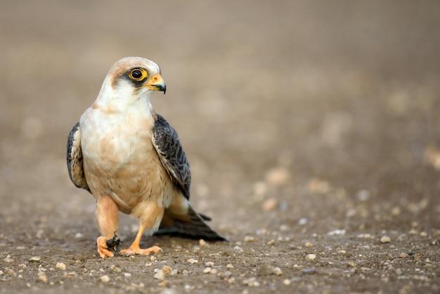 Falco con preda