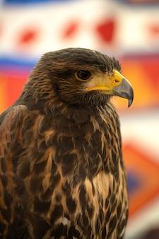 Falconeria. falco di harris