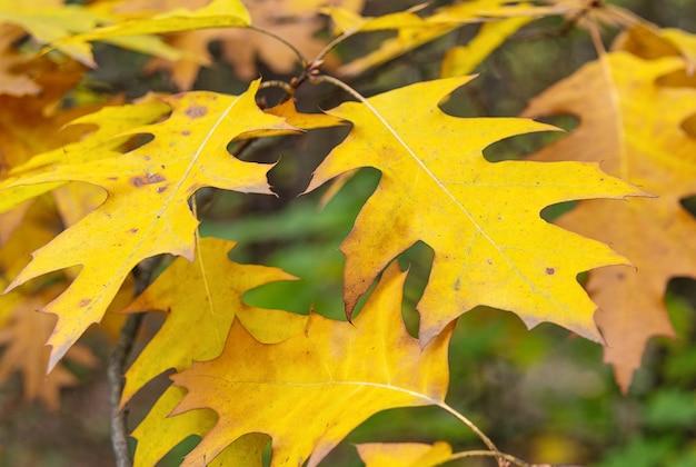 Foglie autunnali di quercia canadese su sfondo sfocato natura e piante