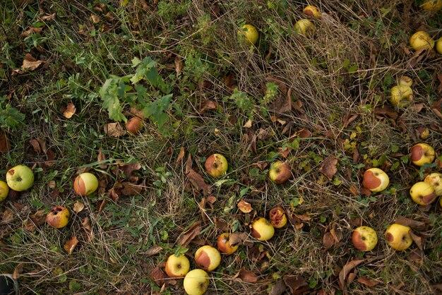 Le mele cadute giacciono a terra vista dall'alto natura