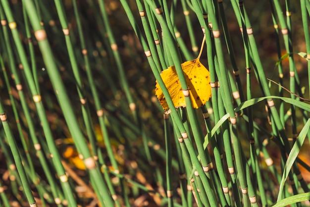 Foglia d'autunno caduta in fili d'erba a coda di cavallo