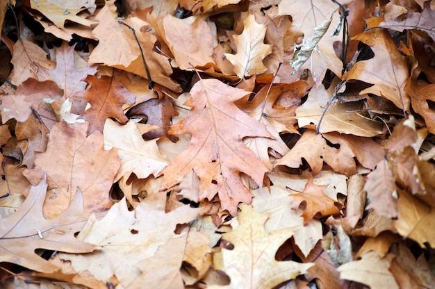 Foglie di autunno cadute dalla quercia.