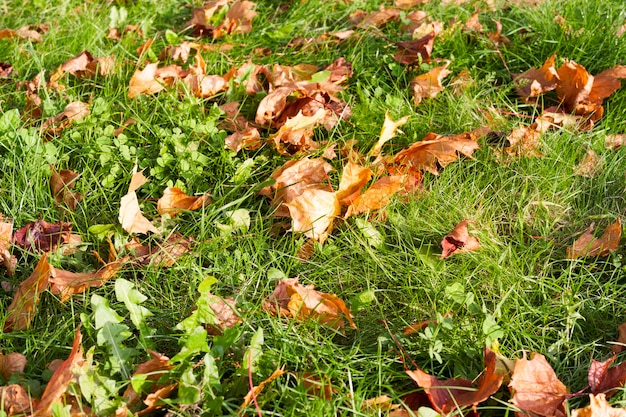 Fogliame di acero autunno caduto su una bella erba verde