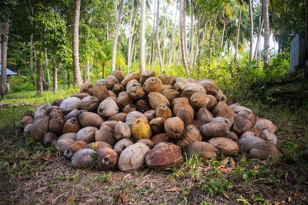 Cocco caduto intorno a una palma verde. un mucchio di noci di cocco cadute in un palmeto. noci di cocco secche nell'erba