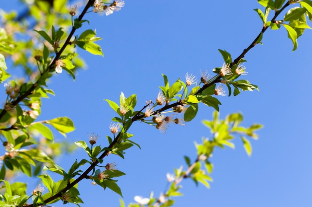 Fiori di ciliegio caduti e appassiti nella stagione primaverile