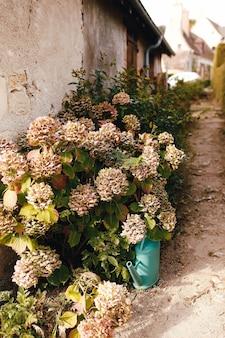 Capolini di ortensie rosa caduti in autunno vicino alla vecchia casa. annaffiatoio da giardino.