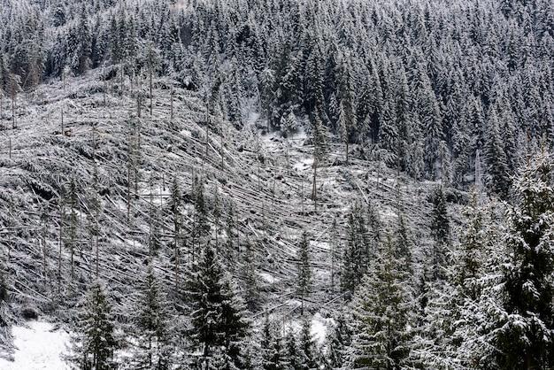 Alberi caduti in foresta di conifere dopo il forte vento di uragano in romania.