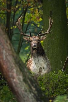 Daini (dama dama) nella foresta.
