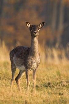 Daina daino in piedi sul campo asciutto in autunno la natura