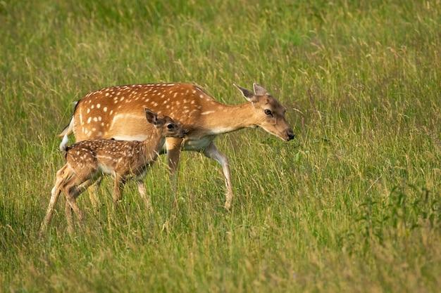 Daini posteriori e fawn che camminano sul prato verde di estate