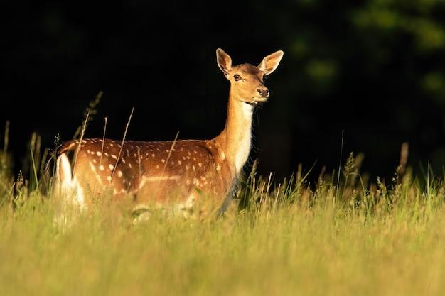 Cervo di daino che guarda sui prati alla luce del sole estivo