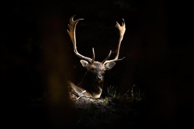 Daini cervo che giace nella foresta illuminata dalla luce solare
