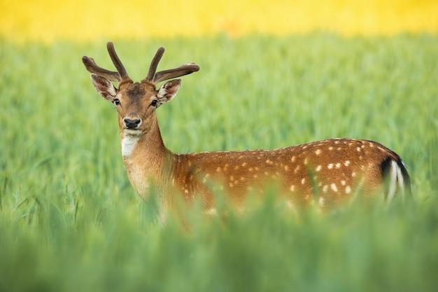 Daino cervo con corna crescenti in piedi sul campo nella natura estiva