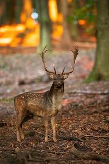 Daini in piedi nella foresta in autunno