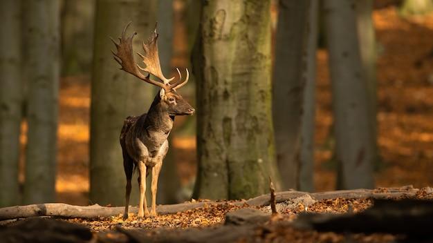 Daini in piedi nel bosco e guardandosi intorno in autunno