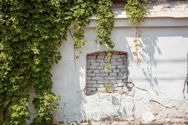 Finta finestra sulla parete incrinata intonacata bianca antica e sul partenocissus verde.