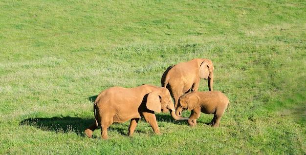 Famiglia de elefanti