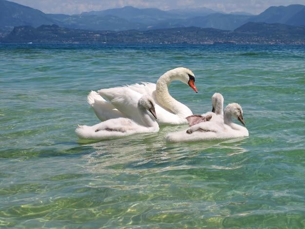 Famiglia di bellissimi cigni vista lago di garda e montagne