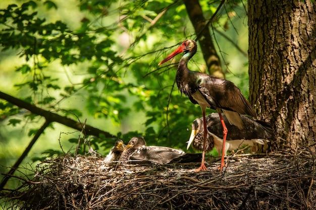 Famiglia cicogna nera in piedi nel nido sulla luce estiva