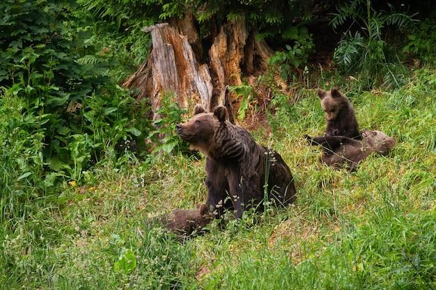 Famiglia di orso bruno che gioca sulla radura nella natura estiva