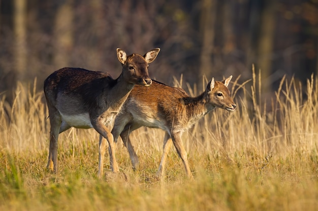 Famiglia di daini che camminano sul campo nella natura di autunno