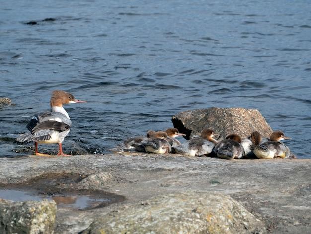 Una famiglia di goosander femmina (mergus merganser) con i pulcini in una soleggiata giornata estiva, riscaldata su una roccia vicino al fiume.