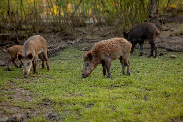 Gruppo familiare di maiali di verruca al pascolo mangiare erba cibo insieme.